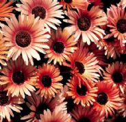 Mesembryanthemum Apricot Shimmer - appx 500 seeds